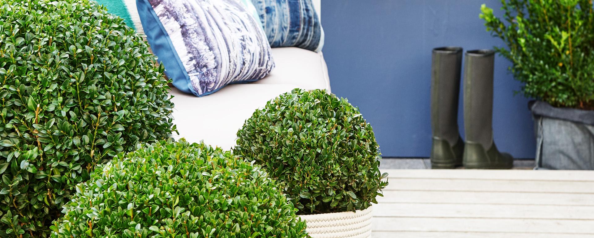 buxus jeans of garden home