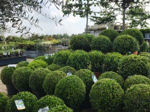 buxus buiten inspiratie tuincentrum De Bosrand